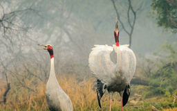 Sarus Crane pair courtship Stock Photos
