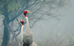 Sarus Crane : Pair Royalty Free Stock Image