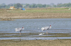 Sarus Crane. Pair of Sarus Crane and other wetland birds including cotton teals at the Wetland Stock Photography