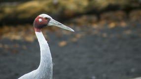 Sarus crane. The portrait of a Sarus crane stock images