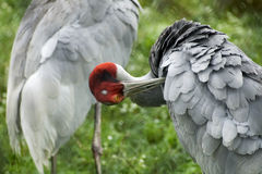 Sarus Crane Preening. Photo of a Sarus Crane preening itself stock photos