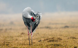Sarus Crane : Preening Royalty Free Stock Photo