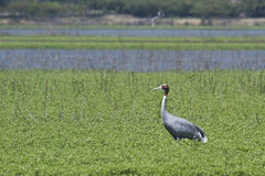 Sarus crane standing in the grass at Bardia, Terai, Nepal Royalty Free Stock Photo