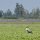 Sarus crane standing in the grass at Bardia, Terai, Nepal Royalty Free Stock Image