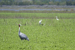 Sarus crane standing in the grass at Bardia, Terai, Nepal Stock Images