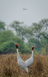 Sarus Cranes Courting Stock Image