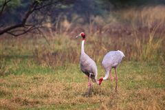 Sarus cranes Grus antigone in Keoladeo Ghana National Park, Bh Stock Image