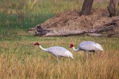 Sarus cranes Grus antigone in Keoladeo Ghana National Park, Bh Royalty Free Stock Image