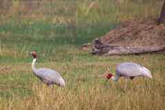 Sarus cranes Grus antigone in Keoladeo Ghana National Park, Bh. Aratpur, Rajasthan, India. Sarus crane is the tallest of the flying birds Royalty Free Stock Image