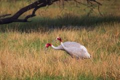 Sarus cranes Grus antigone in Keoladeo Ghana National Park, Bh. Aratpur, Rajasthan, India. Sarus crane is the tallest of the flying birds Royalty Free Stock Photo