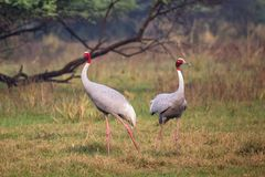 Sarus cranes Grus antigone in Keoladeo Ghana National Park, Bh. Aratpur, Rajasthan, India. Sarus crane is the tallest of the flying birds Royalty Free Stock Photos