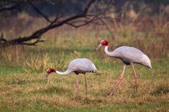 Sarus cranes Grus antigone in Keoladeo Ghana National Park, Bh. Aratpur, Rajasthan, India. Sarus crane is the tallest of the flying birds Stock Images