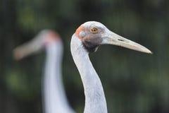 Sarus Cranes Stock Images