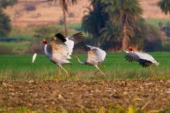 Sarus Cranes o período de asas Foto de Stock Royalty Free