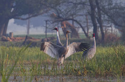 Sarus Cranes Wings Span Royalty Free Stock Photography