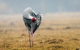 Sarus żuraw: Preening Zdjęcie Royalty Free