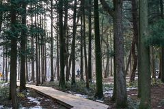 Saryeoni cedar tree forest pathway in winter. Saryeoni cedar tree forest taken during winter time. Jeju Island, South Korea Royalty Free Stock Image