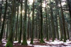 Saryeoni cedar tree forest in winter. Saryeoni cedar tree forest taken during winter time. Jeju Island, South Korea Royalty Free Stock Photography