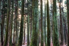 Saryeoni cedar tree forest in winter. Saryeoni cedar tree forest taken during winter time. Jeju Island, South Korea Stock Photography