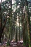 Saryeoni cedar tree forest in winter. Saryeoni cedar tree forest taken during winter time. Jeju Island, South Korea Stock Image