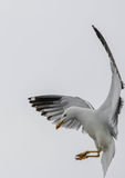 Seagull lands Royalty Free Stock Image