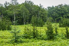 Sasa Bamboo e pini, Shiretoko Fotografia Stock
