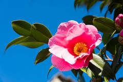 sasanqua和蓝天的花 免版税库存照片