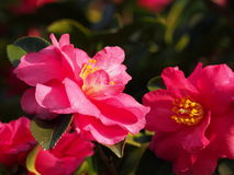 花是开花的sasanqua 免版税图库摄影