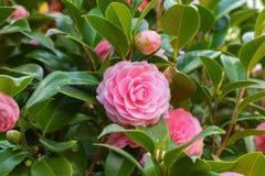 与绿色叶子的桃红色山茶花sasanqua花 免版税库存照片