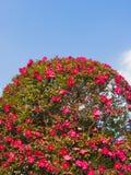 Sasanqua-Blumen sind in der Blüte viel Stockfotos