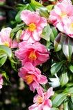 Sasanqua da camélia Imagem de Stock