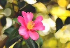Sasanqua da camélia Fotos de Stock Royalty Free