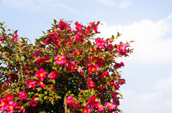 Sasanqua flowers are in bloom a lot Stock Image