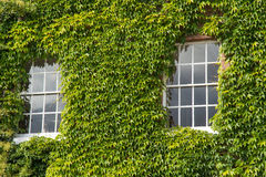 Sash windows. Two sash windows in an ivy-clad wall Stock Photo
