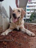 Sasha el golden retriever foto de archivo libre de regalías