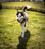 Siberian Husky Running With Stick. Sasha the husky playing fetch with her stick royalty free stock image