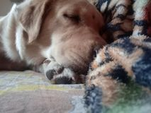 Sasha o golden retriever imagem de stock royalty free