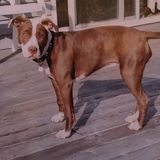 Sasha Pit Bull Princess canadien Photographie stock libre de droits