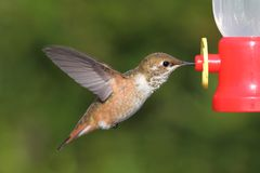 Sasin di Selasphorus del colibrì di Allens Fotografie Stock