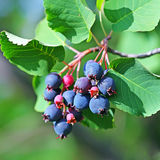 Saskatoon or Amelanchier (Latin name Amelanchier) Stock Photo