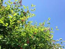 Saskatoon Berries. Stock Photos