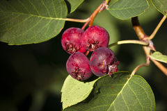 Saskatoon Berries ripening in Summer Stock Images