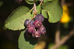 Saskatoon Berries ripening in Summer Royalty Free Stock Image