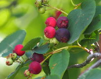Saskatoon Berries Stock Photos