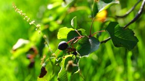 Saskatoon berry brunch in sunny summer day stock video