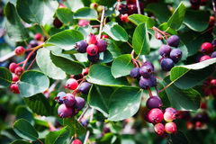 Saskatoon Berry Plant Stock Photo