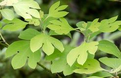 Sassafras leaves, Blue Ridge Mountains stock images