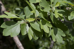 Sassafras albidum Tree Leaves Royalty Free Stock Images