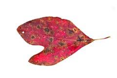 Sassafras Leaf Stock Photos
