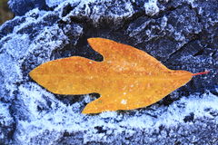 Sassafras leaf. On a frosty peace of coal Stock Photography